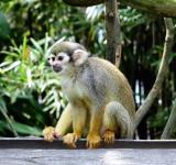 Free Photo - Squirrel Monkey