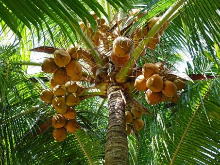 Coconuts on the Tree - Free Stock Photo