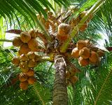 Free Photo - Coconuts on the Tree