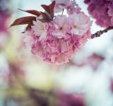 Free Photo - Fresh Cherry Flowering