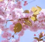 Free Photo - Japanese Flowering