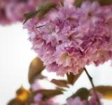Free Photo - Japanese Flowering Cherry