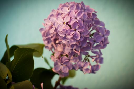 Fresh Lilac Flowers - Free Stock Photo
