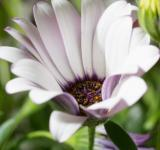 Free Photo - Blooming Marguerite in the Garden