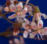 Free Photo - Saxifraga Cuneifolia