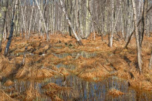 Jesup Birch Marsh - HDR - Free Stock Photo