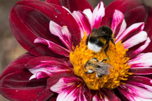 Bee on the Dahlia - Free Stock Photo