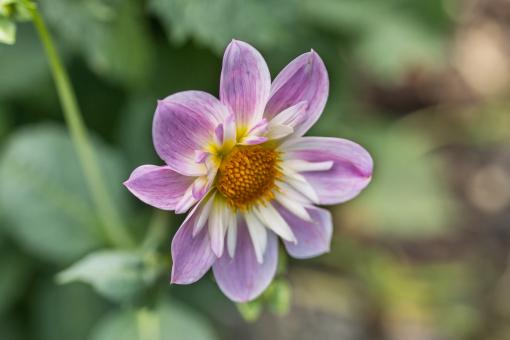 Dahlia Hortensis - Free Stock Photo