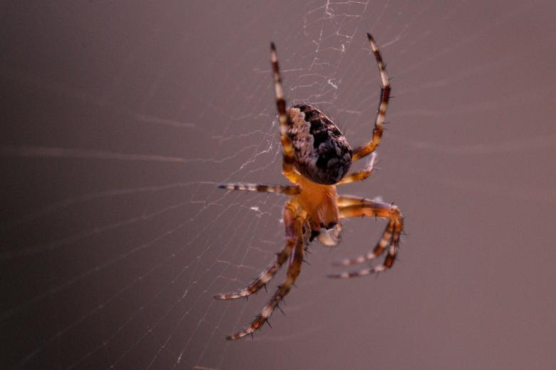 Free Stock Photo of Garden Spider Created by Pixabay