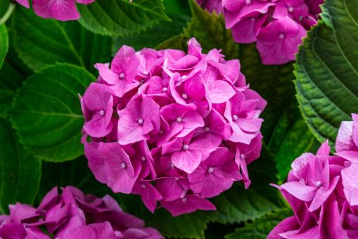 Fresh Hydrangeas - Free Stock Photo