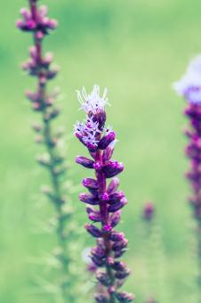 Liatris Spicata - Free Stock Photo