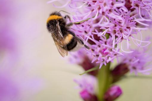 Bee on Liatris Spicata - Free Stock Photo
