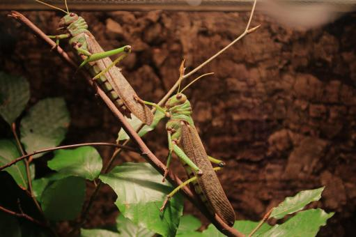 Grasshoppers on the Branch - Free Stock Photo