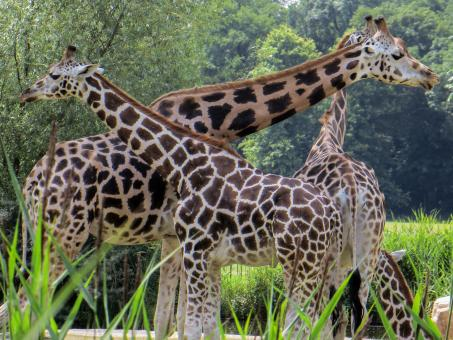 Wild Giraffes - Free Stock Photo