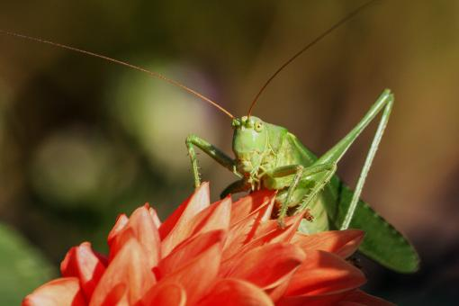 Wild Grasshopper - Free Stock Photo