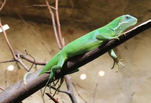 Green Iguana - Free Stock Photo