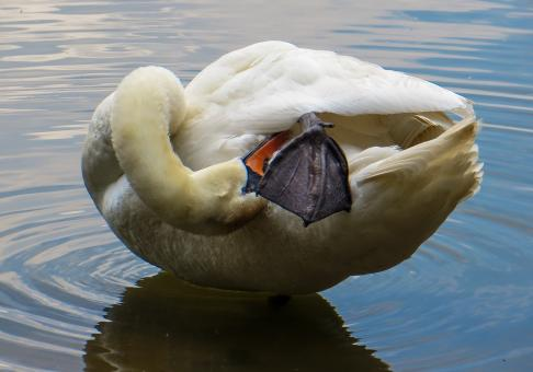 Swan in the River - Free Stock Photo