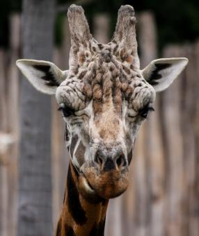 Giraffe in the Zoo - Free Stock Photo
