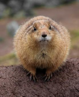 Wild Gopher - Free Stock Photo