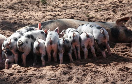 Pig Feed - Free Stock Photo