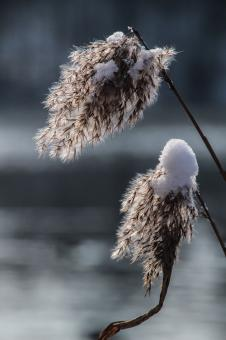 Frozen Reed - Free Stock Photo