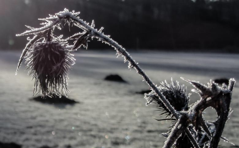 Free Stock Photo of Frozen Thistle Created by Pixabay