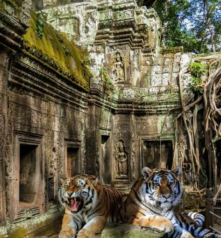 Tigers in the Temple - Free Stock Photo