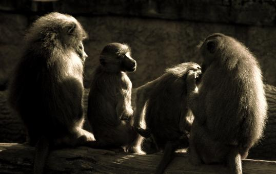 Group of Apes - Free Stock Photo