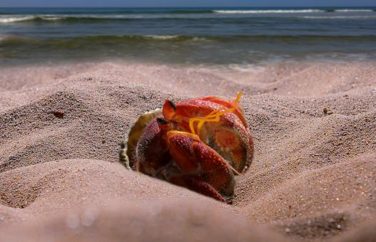 Crab on the Beach - Free Stock Photo