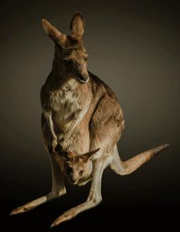 Kangaroo in the Zoo - Free Stock Photo