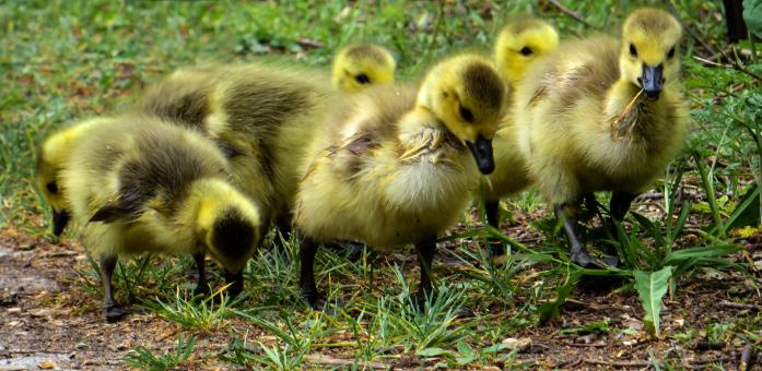 Yellow Ducklings - Free Stock Photo