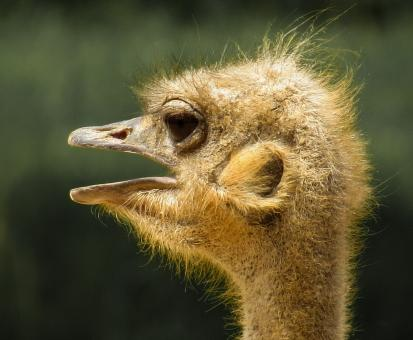 Ostrich Closeup - Free Stock Photo