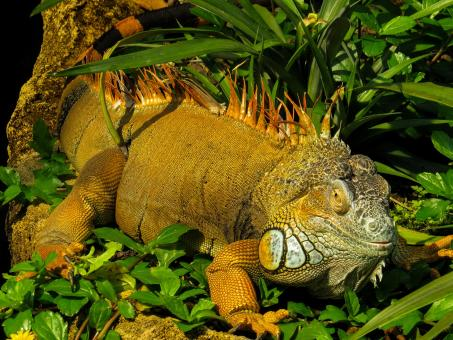 Iguana in the Jungle - Free Stock Photo