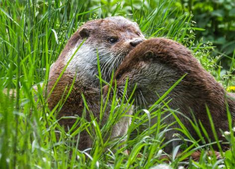 Wild Otter - Free Stock Photo