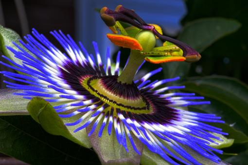 Passion Flower - Free Stock Photo