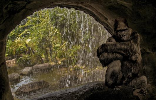 Gorilla in the Cave - Free Stock Photo