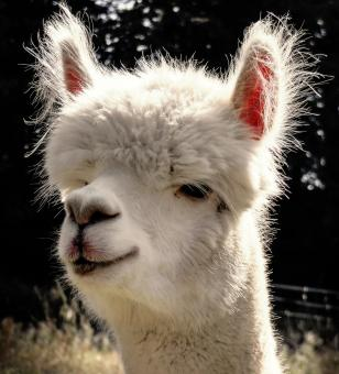 White Alpaca - Free Stock Photo