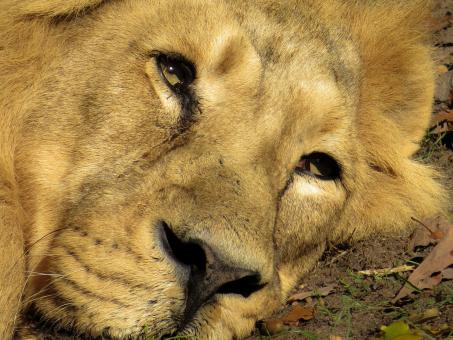 Resting Lion - Free Stock Photo