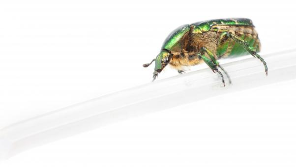 chafer beetle - Free Stock Photo