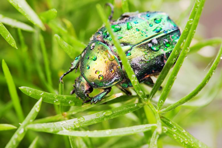 Chafer Beetle Free Insect Stock Photos