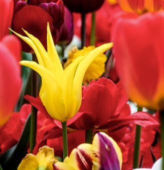 Fresh Tulips - Free Stock Photo