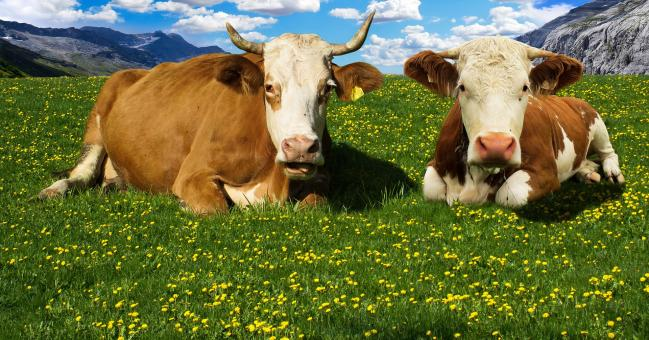 Wild Cows - Free Stock Photo