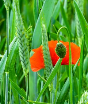 Fresh Poppy - Free Stock Photo