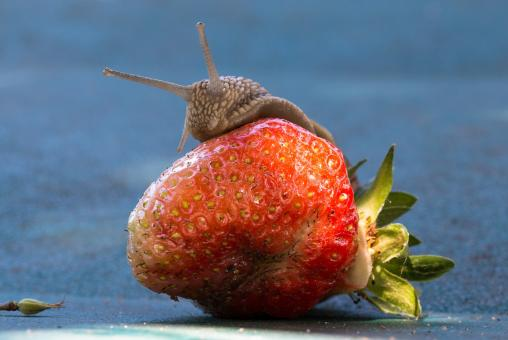 Snail on the Strawberry - Free Stock Photo