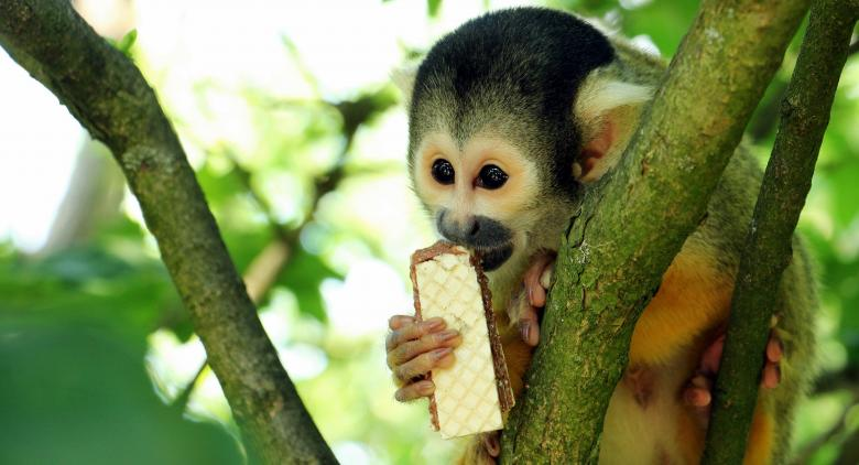 Squirrel Monkey - Free Stock Photo by Pixabay on Stockvault net