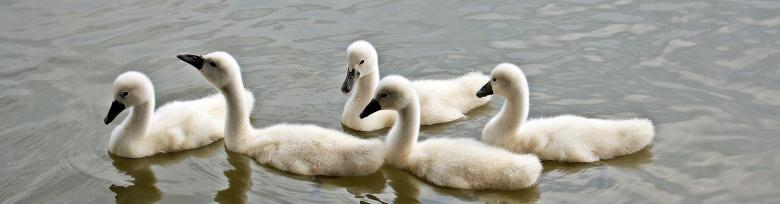 Free Stock Photo of Swans Swimming Created by Pixabay