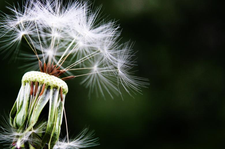 Free Stock Photo of Macro Dandelion Created by Pixabay