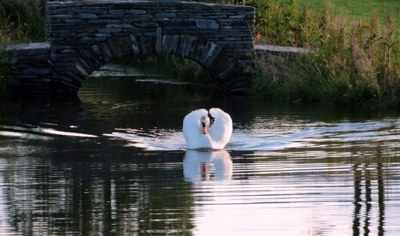 Swan in the Lake Free Photo