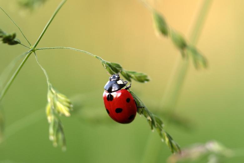 Asian Ladybug Free Insect Stock Photos