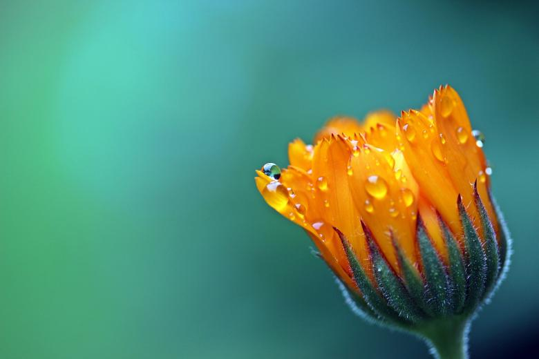 Fresh Marigold Free Photo